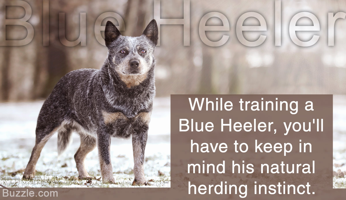 Incredibly Handy Tips On Training A Blue Heeler Dogappy