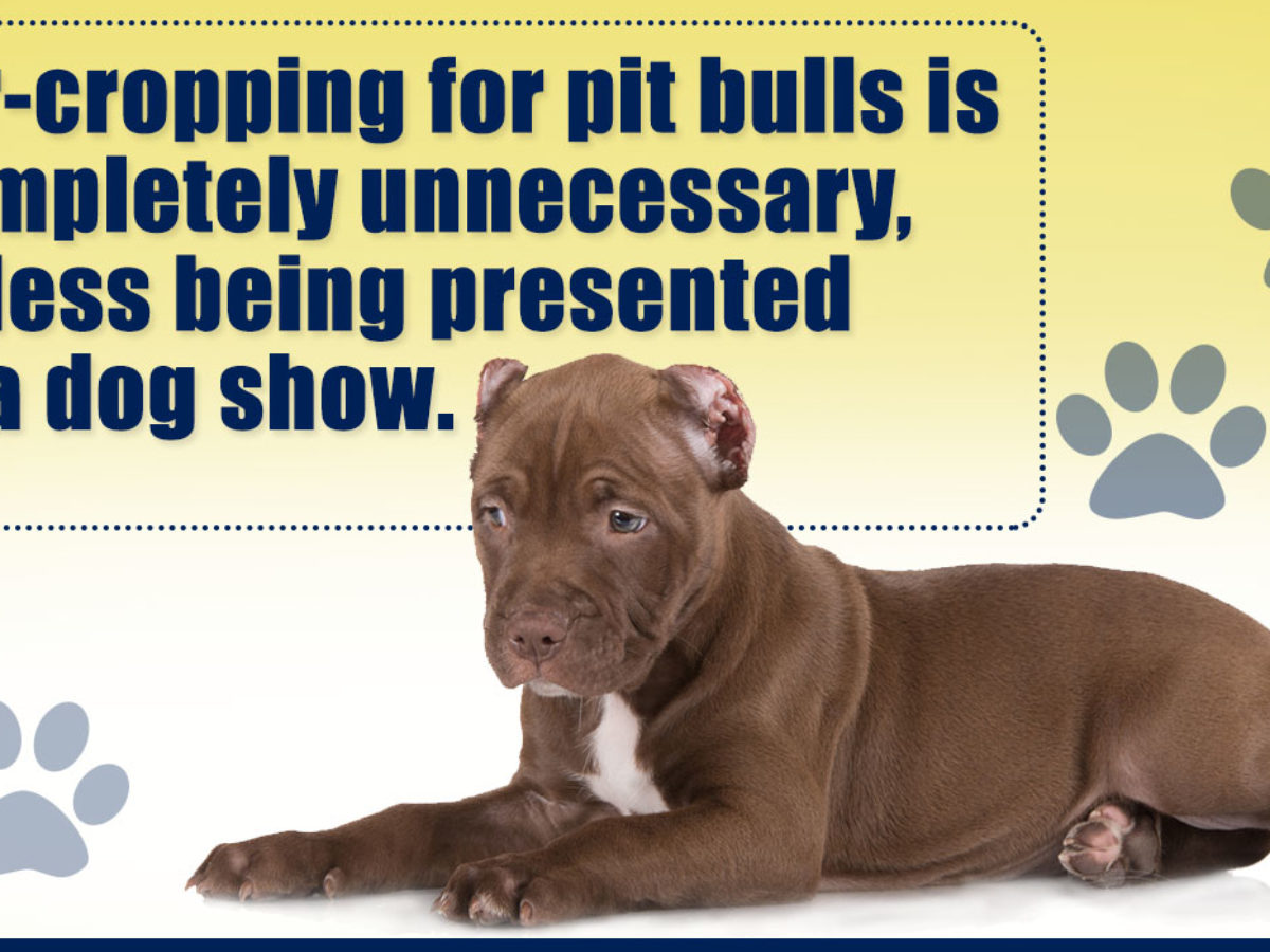 Ear Cropping In Pit Bulls
