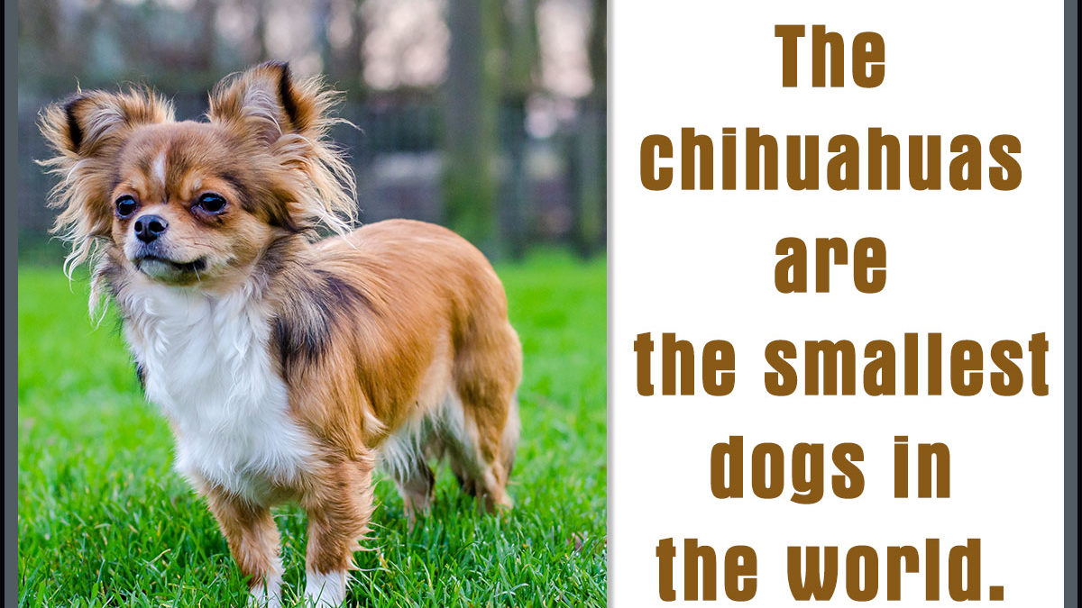 Traits Of Chihuahua Terrier Mix Breeds