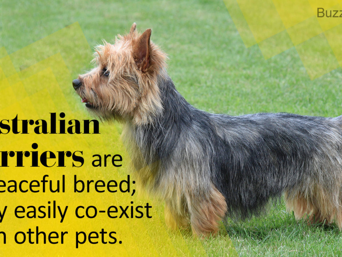Brilliant Information About the Jack Russell Terrier Mix