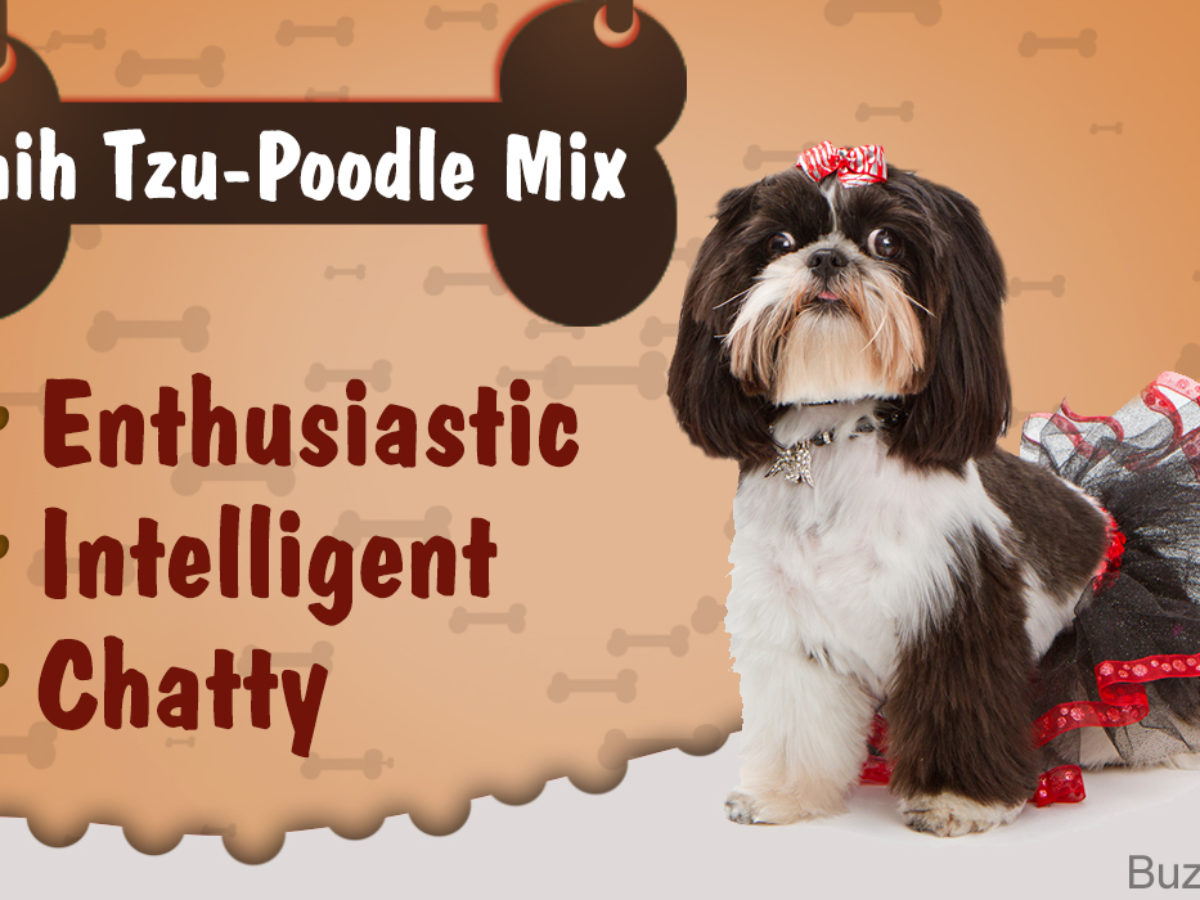 Things You Need To Know Before Getting A Shih Tzu Poodle Mix Dogappy