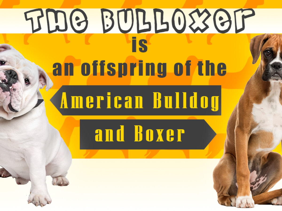 Personality Traits Of The Boxer Bulldog Mix Breed You Didn T Know Dogappy