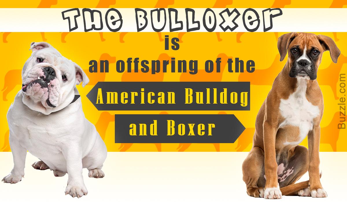 Boxer Bulldog Mix Breed