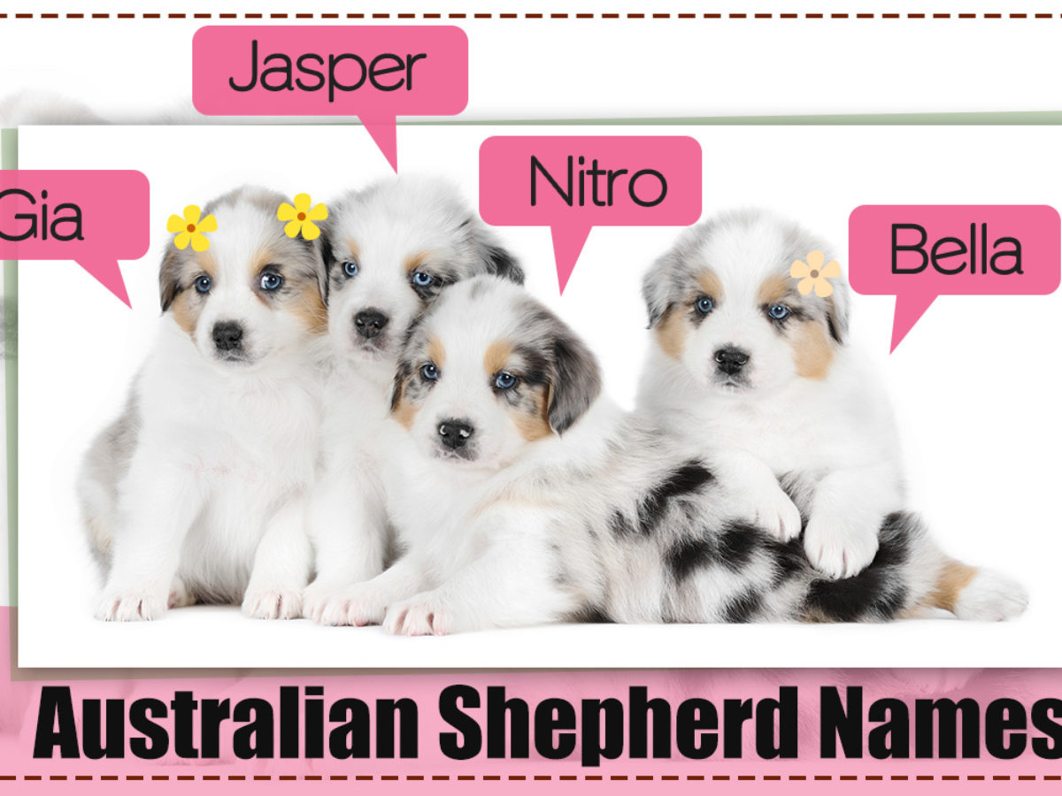 200 Adorably Cute Names For Your Australian Shepherd Puppy Dogappy