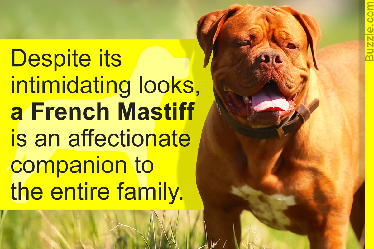 French Mastiff Dogue De Bordeaux