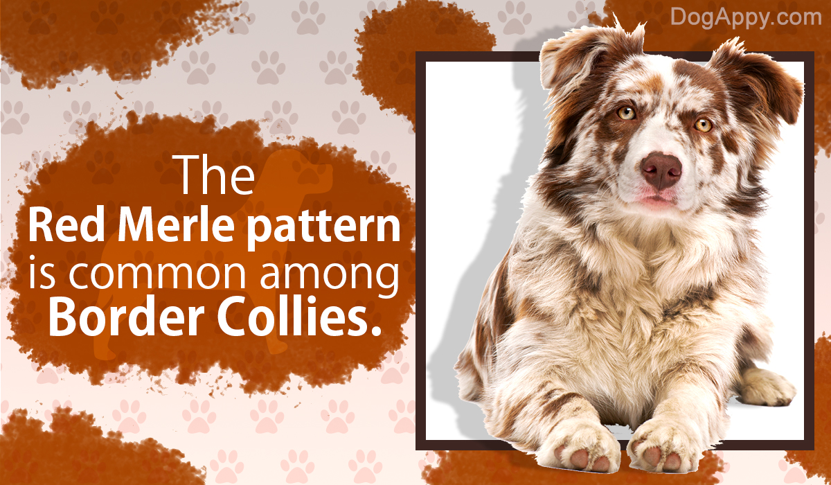 Everything You Need To Know About Border Collie Colors And