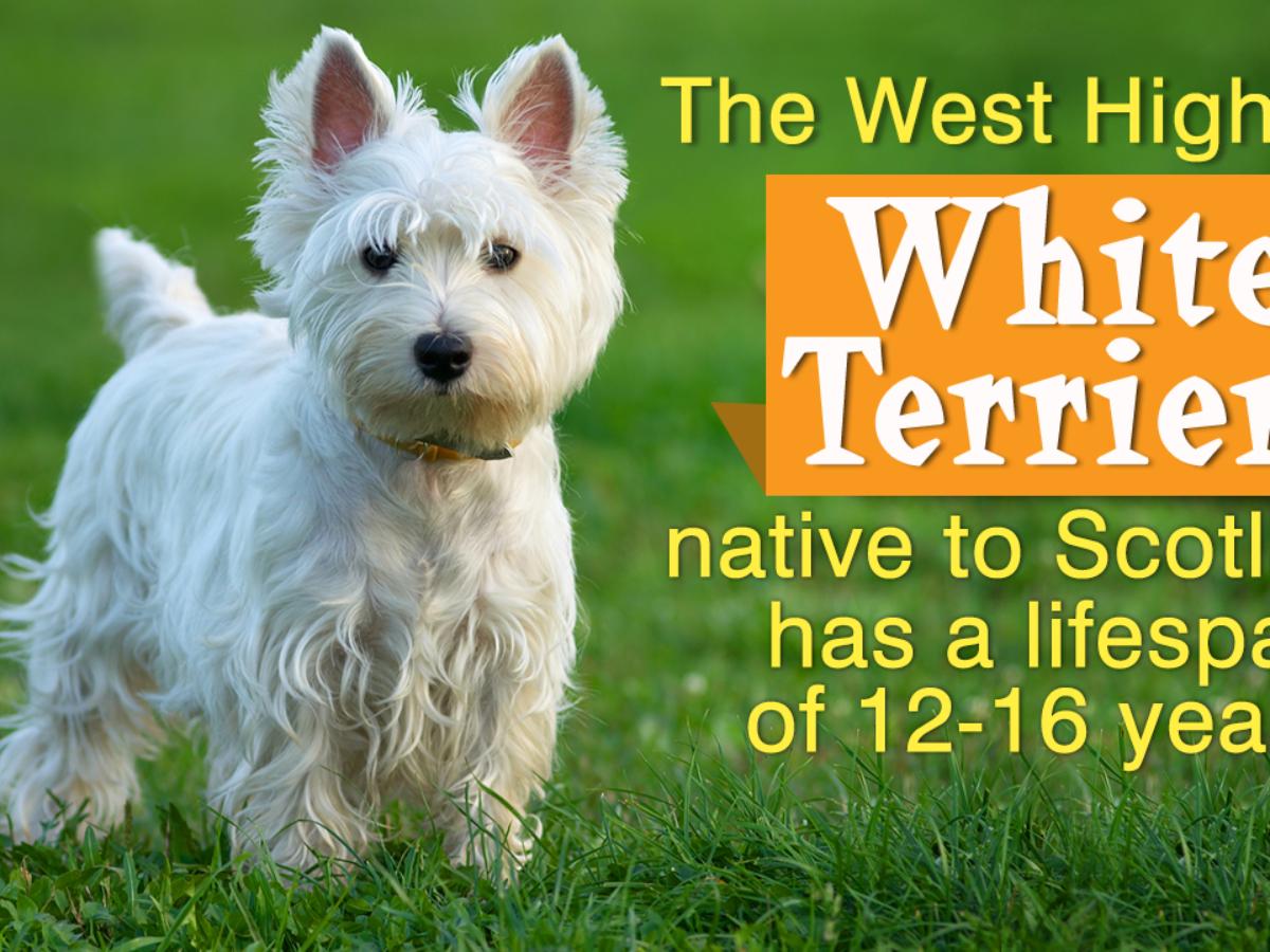 Jack Russell Terrier - Wikipedia | 900x1200