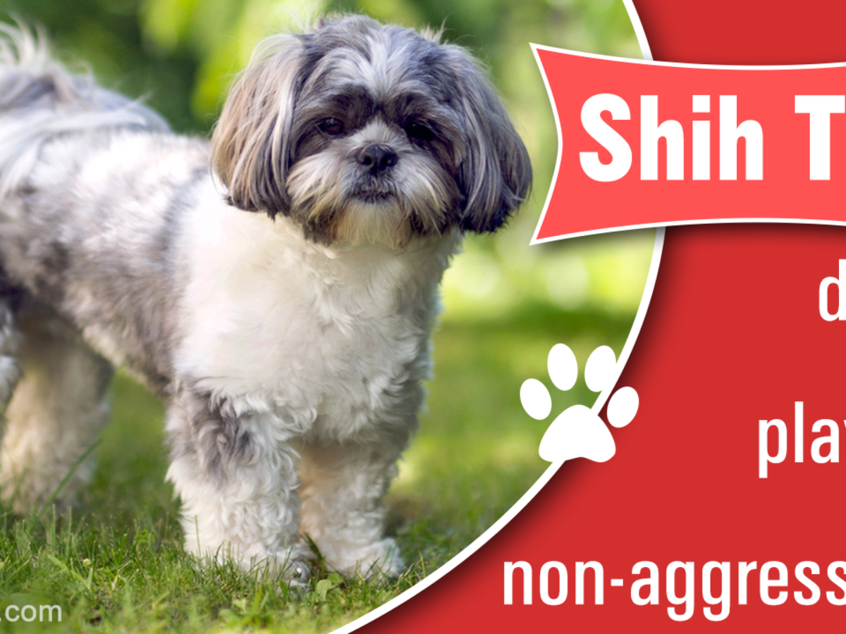 How Much Do The Beautiful And Cute Shih Tzu Puppies Cost Dogappy