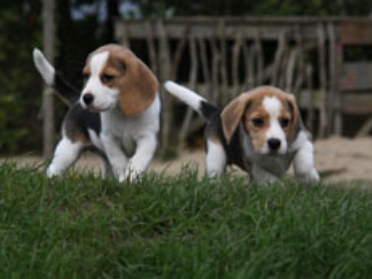 Beagle Puppy Average Price