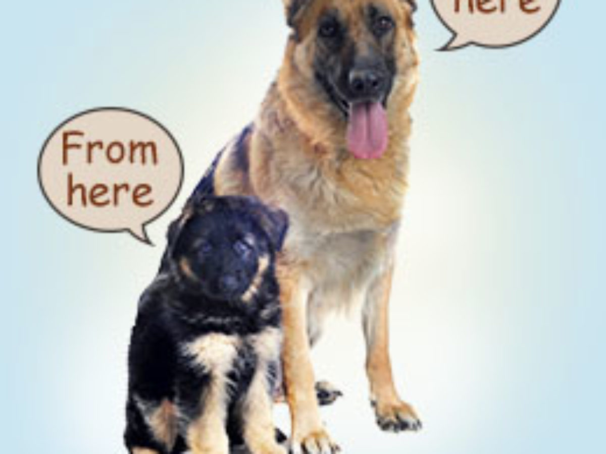 Growth Rate Of Your German Shepherd