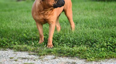 Bulldog mastiff puppies grow up fast.