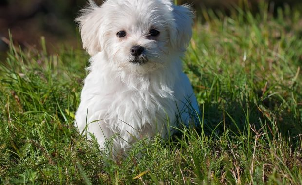 With a good puppy cut Maltese dogs are beautiful