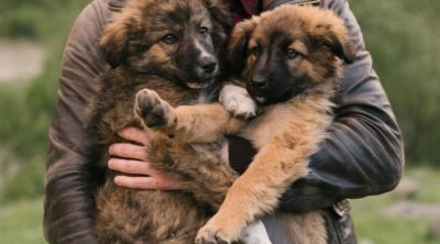 Brown German Shepherd Puppies are the cutest.