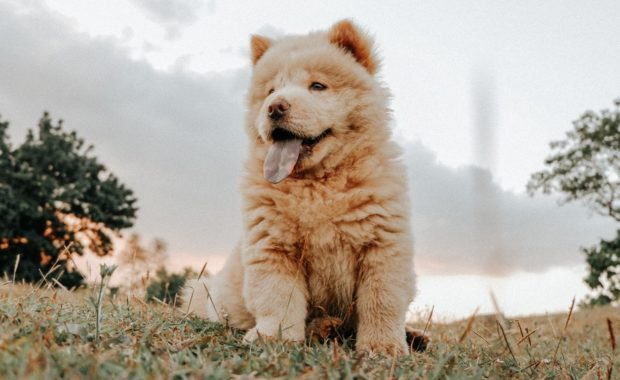 A chow puppy can be a great companion.