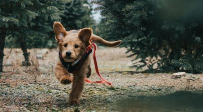 Goldendoodle running through a forest