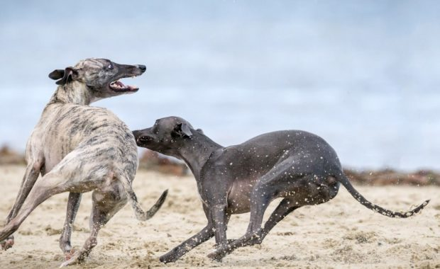 two greyhound dogs playing