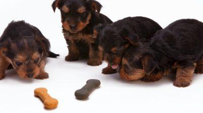 puppies looking at homemade dog treats